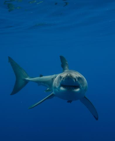 State unveils new shark ID tool