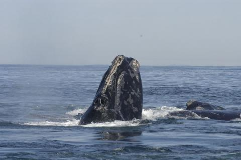 Grant will help state's efforts to understand endangered Right Whales