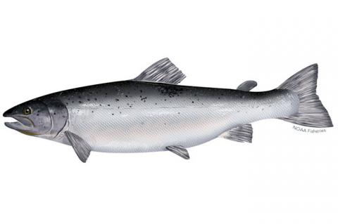 Norwegian company to build one of the world's largest land-based salmon farms in Belfast