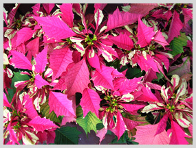 Pink Variegated Poinsettias